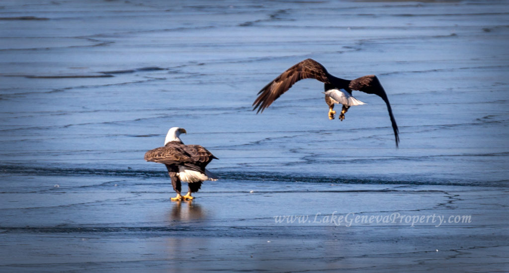 Bald Eagles on Lake Geneva