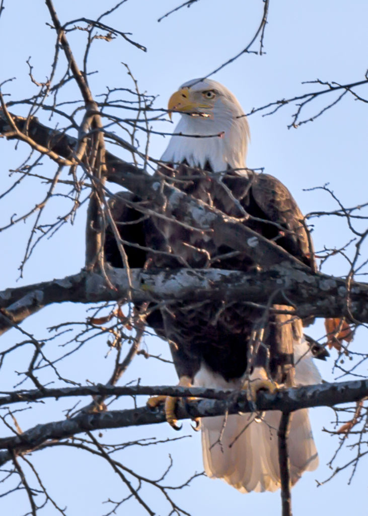 Bald Eagles around Lake Geneva, photo provided by Bob Webster of Keefe Real Estate Lake Geneva